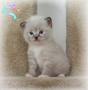 Ragdoll Kittens in All Pointed Colors